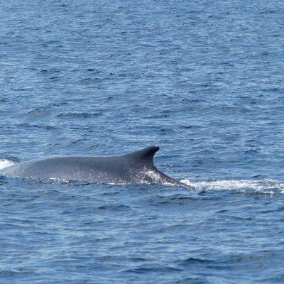 Balenes - Viulavela